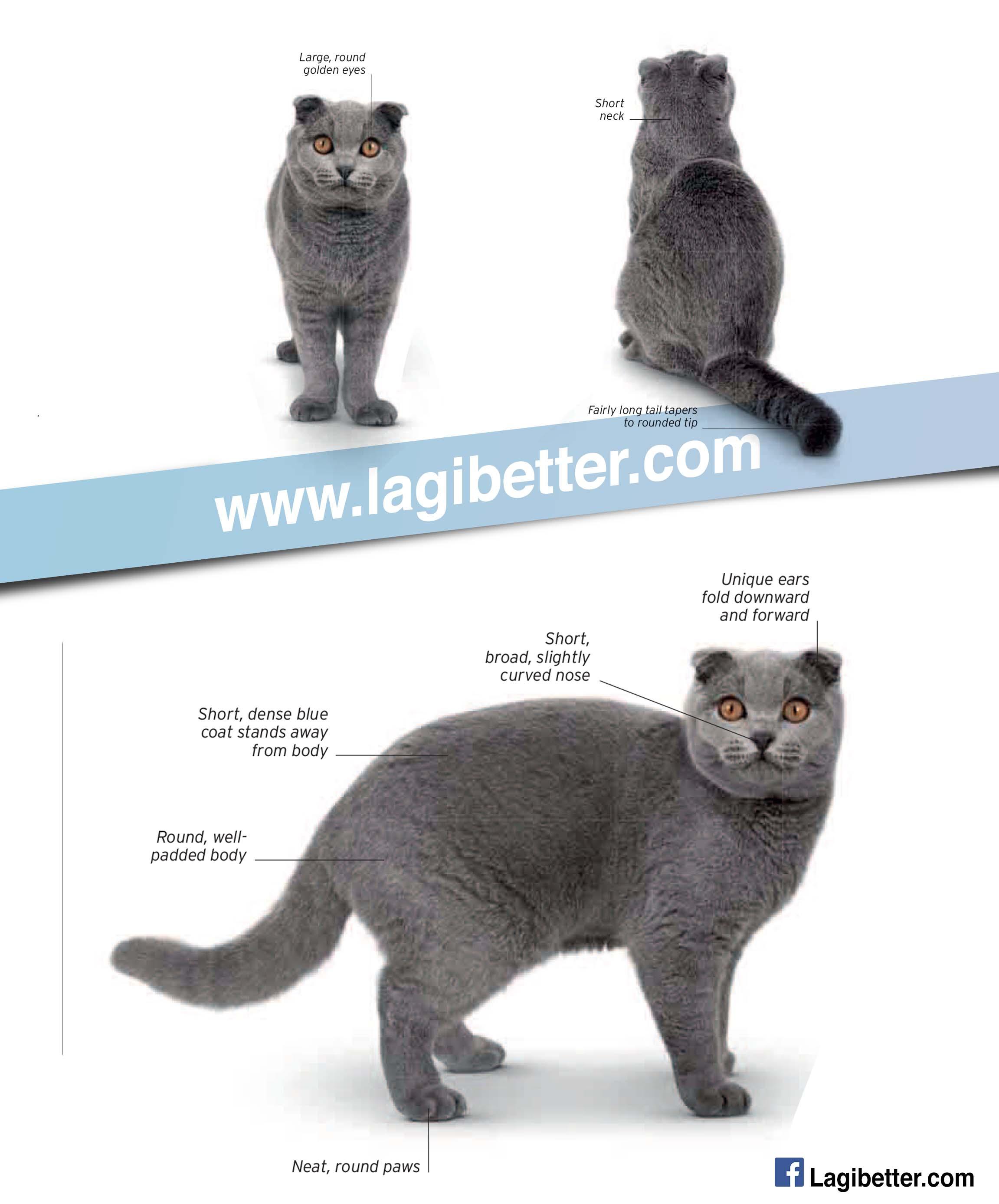 83 Baka Kucing Short Hair Yang Boleh Menjadikan Anda Kaya Lagibetter